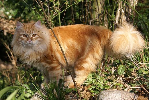 Sibirische Katze Zaimka Avos