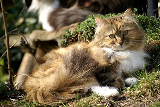 Sibirische Katze Gwenya von der Gronau