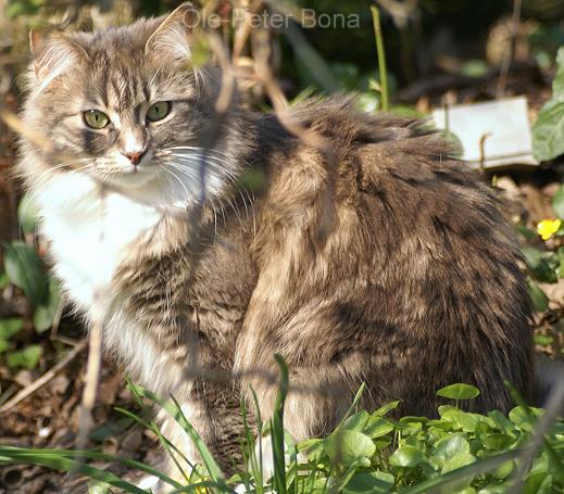 Sibirische Katzen von der Gronau Hetty