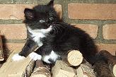 Sibirische Katzen Batumi von der Gronau