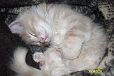 Sibirische Katzen Borsoj von der Gronau