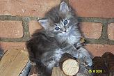 Sibirische Katzen Balishka von der Gronau