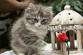 Sibirische Katzen Fiona von der Gronau