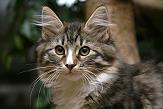 Sibirische Katzen Flavia von der Gronau