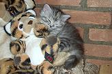 Sibirische Katzen Darinja Limavon der Gronau