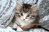 Sibirische Katzen Daria Lima von der Gronau