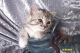 Sibirische Katzen Darinja Lima von der Gronau