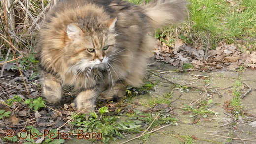 Sibirische Katze Spirit of New Heaven´s Catjuscha