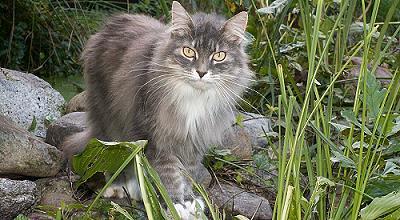 Sibirische Katzen von der Gronau